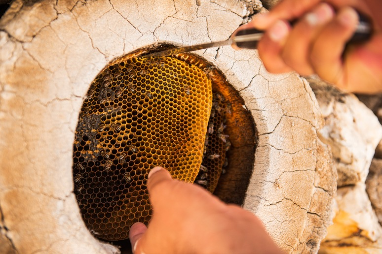 Cutting out disks of natural bee wax containing honey